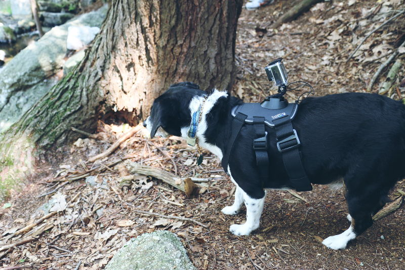 dog, Louis, beagle mix, hiking. GoPro